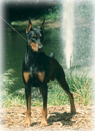 DemonFount Doberman Puppies